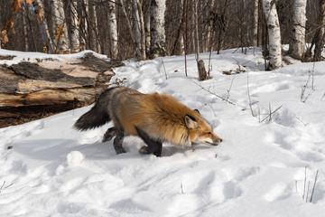 Wall Mural - Red Fox (Vulpes vulpes) Stalks Right Away From Log Winter