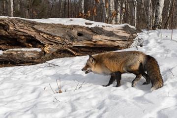 Wall Mural - Red Fox (Vulpes vulpes) Steps Right Towards Log Winter