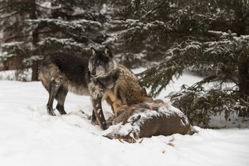 Fototapete - Black Phase Grey Wolf (Canis lupus) Turns from White-Tail Deer Carcass And Wolf Winter