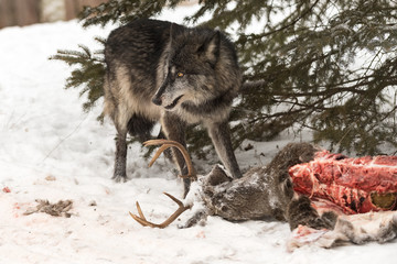 Fototapete - Black Phase Grey Wolf (Canis lupus) Stands Next to  Eaten White-Tail Deer Carcass Winter