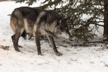 Fototapete - Black Phase Grey Wolf (Canis lupus) Walks Right Head Down Winter