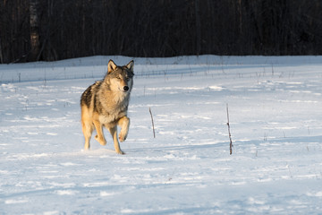 Fototapete - Grey Wolf (Canis lupus) Trots Forward in Early Morning Light Winter