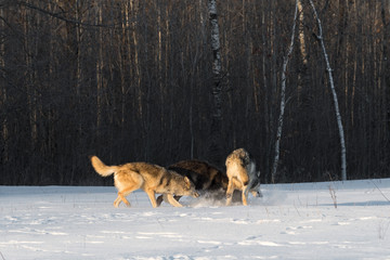 Fototapete - Grey Wolves (Canis lupus) Pile Up in Early Morning Light Winter