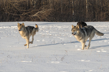 Fototapete - Grey Wolves (Canis lupus) Run Forward Through Snowy Field Winter