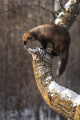 Fototapete - Fisher (Martes pennanti) Looks Out From Tree Winter