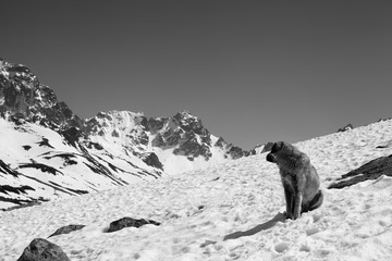 Fototapete - Dog sitting on snow and look back at high snowy mountains