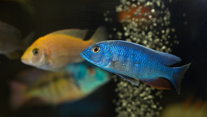 African cichlid electric blue