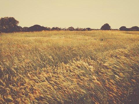 Wheat Field On Windy Day