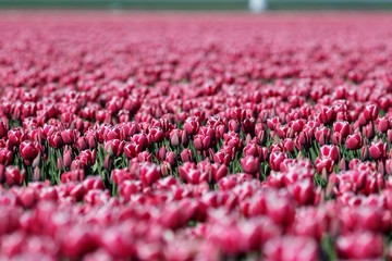 Fotorolgordijn Candy roze Pink Tulips Blooming On Field