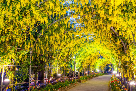Yellow Wisteria Flowers Arch In Bloom At Garden Path