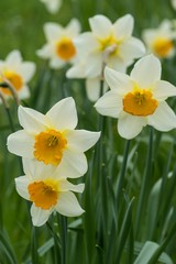 Photo sur Aluminium View Of White Daffodils