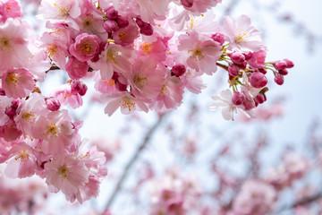 Spoed Fotobehang Kersenbloesem One brief season moment in spring time is the blooming of sakura tree.