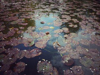 Stores photo Nénuphars Leaves Of Water Lilies Floating In Water
