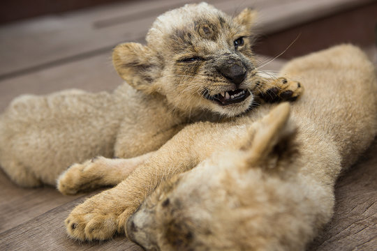 Two adorable cute yellow baby lions sleeping in Surabaya Zoo on wood stage. One of Leo's young  cubs snarls a grin from sleep. Two little kings of wild animals live in captivity.