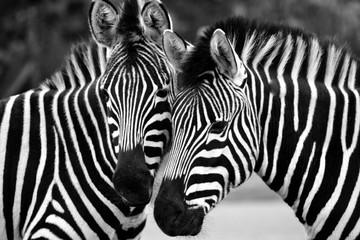 Printed kitchen splashbacks Zebra Portrait Of Zebra