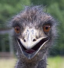 Zelfklevend Fotobehang Struisvogel Close-up Portrait Of Ostrich On Field