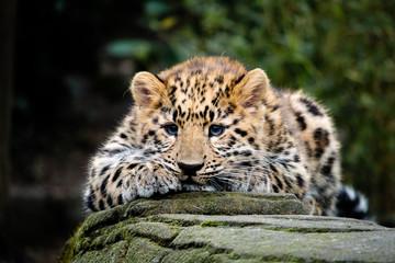 Amur Leopard Cub Wall mural
