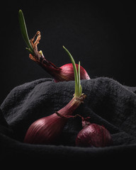 Sprouting Red Onions on Dark Background Still Life