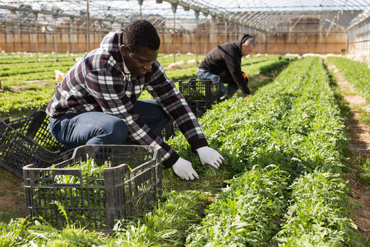 African american male gardener picking harvest of arugula  to crate
