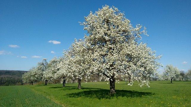 Birnenblüte auf Streuobstwiese  (Standort: Albvorland, BaWü, Deutschland)