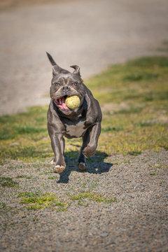 Old English Bulldog plays with ball