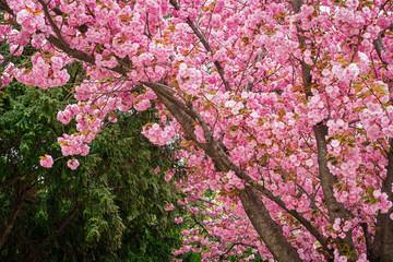 Wall Mural - Kirschbaum in rosa Blüte