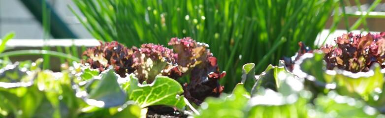 Verschiedene Blattsalate in einem Hochbeet in der Sonne