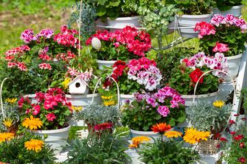 Wall Mural - Geranium in flower pots