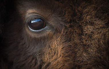 Deurstickers Bison American bison eye closeup.