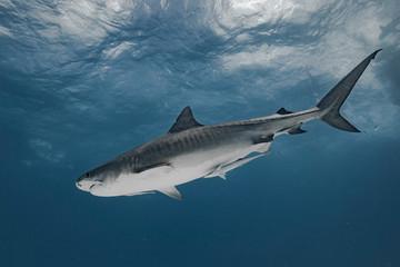 Tiger shark in transparent waters Fototapete