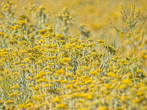 Growing a medicinal herbs, Immortelle field near Oklaj in Promina county at Dalmatian Zagora in Croatia