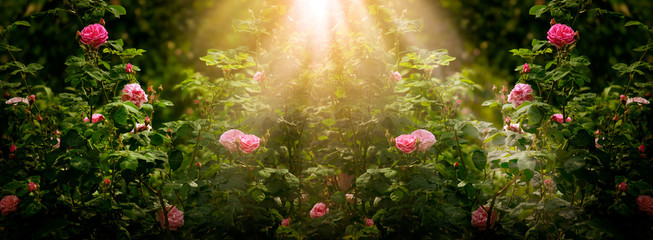 Blooming rose flowers in fabulous garden on mysterious fairy tale spring or summer floral sunny...