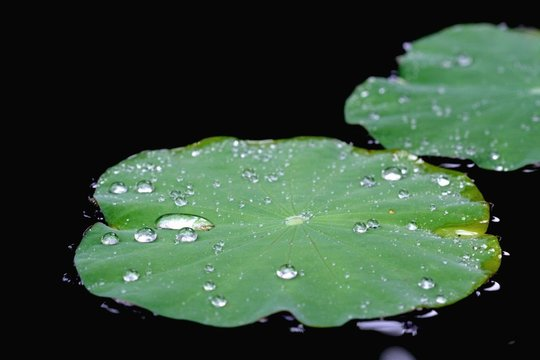 High Angle View Of Water Drops On Lily Pads Floating On Lake