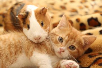 best kitten and guinea pig Fotomurales