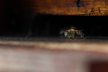 single Carniolan honey bee sitting at the entrance of the bee hive