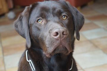 Labrador braun Fotobehang