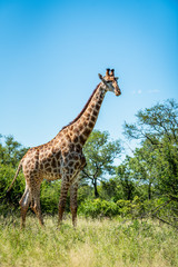 Wild giraffe during a safari in the Kruger National Park, Mpumalanga, South Africa