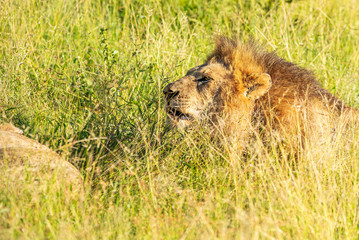 Wild lion lying down in the grass