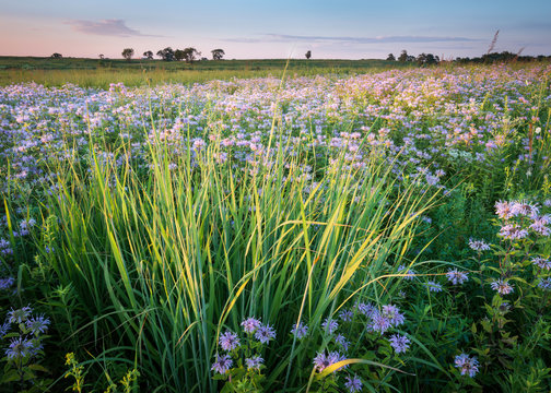A summer sunset sky over a Midwest prairie full of blooming wild bergamot native wildflowers.