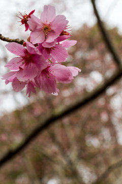Flowering pink cherry blossom trees in the spring time in Newport News Park, a public park in Virginia.