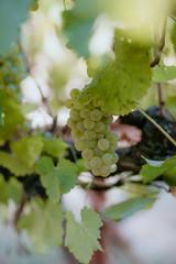 Fototapete - White wine grapes on the vine in summer crush