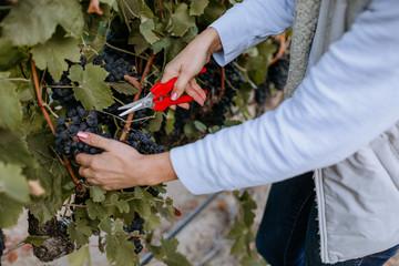 Fototapete - Female winemaker hands examine vineyards and grape clusters.