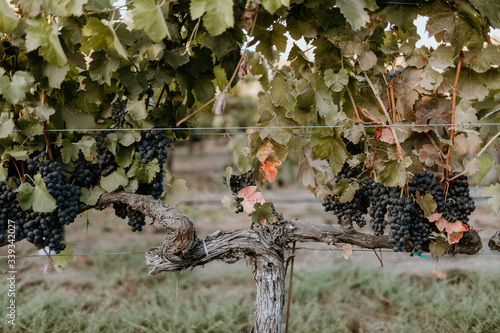 Fototapete Red grapes on an old vine in Healdsburg California.