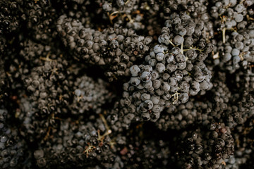 Fototapete - Close up of red grapes in harvest bins ready for crush.