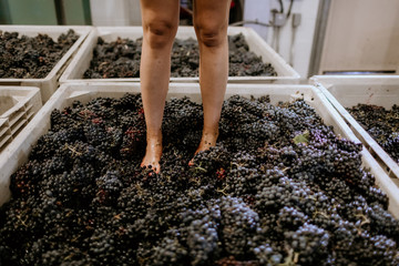Fototapete - A woman stands in bins of grapes for footstomping.