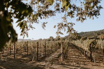 Fototapete - California vineyard in the morning.