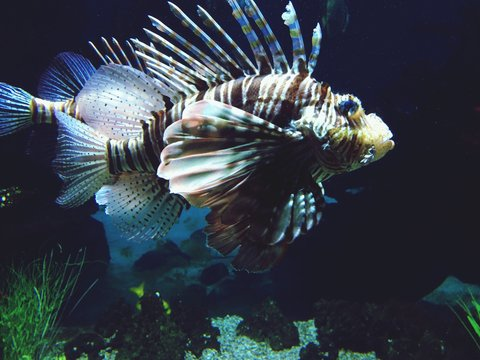 Close-up Of Lion Fish At Aquarium