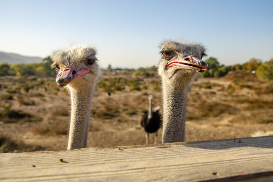 Two ostriches are waiting for food, Solvang