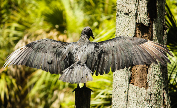 Cormorant With Spread Wings On Wooden Post