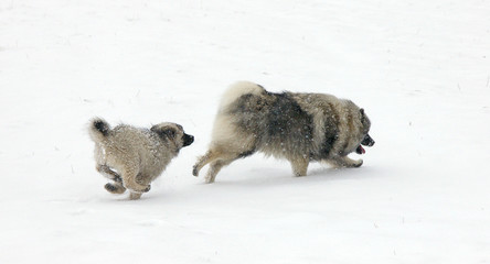 Foto auf Acrylglas Hund Keeshonds Running On Snowcapped Field